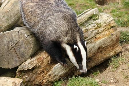 cull: European Badger  Meles meles  Stock Photo