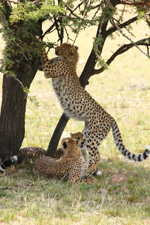 clawing: Cheetah clawing tree Stock Photo