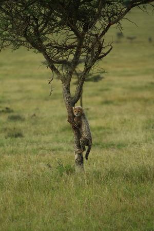 cheetah cub: Cheetah Cub climbing tree