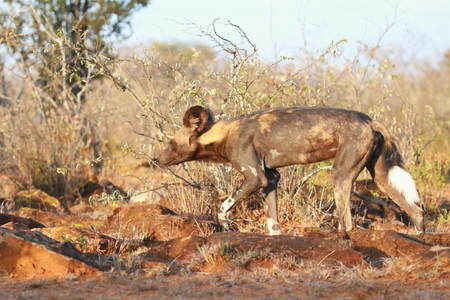 African Wild Dog ( Lycaon Pictus )