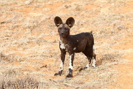 wild dog: African Wild Dog ( Lycaon Pictus )