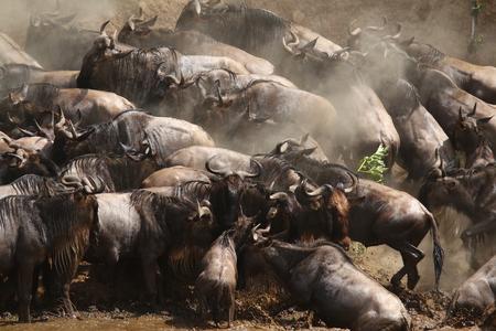 Wildebeest aan de oevers van de rivier de Mara, Kenia