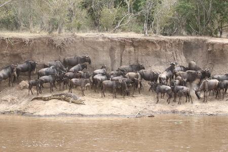 Wildebeest en krokodil aan de oever van de Mara rivier in Kenia