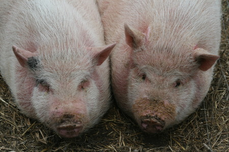 Pair of piglets Stock Photo