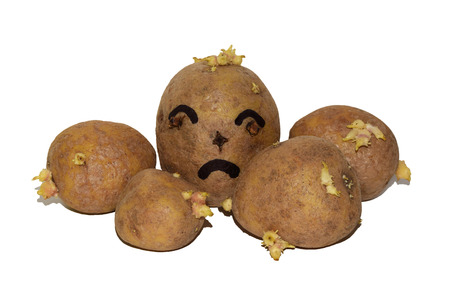 Sprouted potatoes isolated on white background