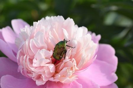 Cetonia aurata beetle on tender peony flower