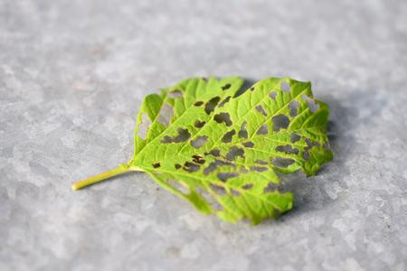 Leaf damaged by viburnum leaf beetle larvae