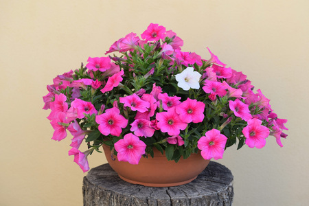 Overhanging pink petunia with one different white flower