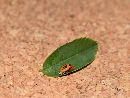 Ladybug pupa - family Coccinellidae
