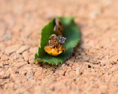 Harmonia axyridis adult just hatched from the pupa Stock Photo