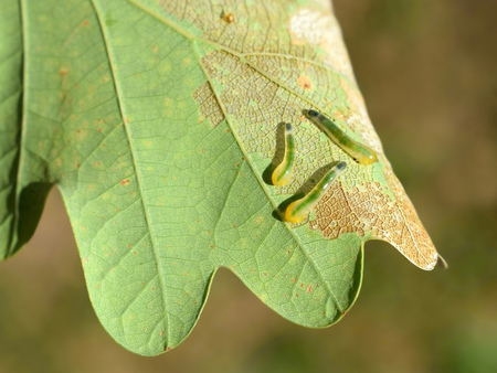Sawfly larvae of Caliroa genus damaging oak leaves