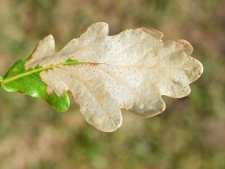 Oak leaf is destroyed by sawfly larvae of Caliroa genus