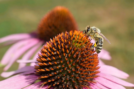 Bee with a pollen on Echinacea purpurea flower