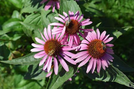 Bees on Echinacea purpurea flowers