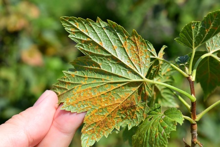 Cronartium ribicola disease on black currant leaves