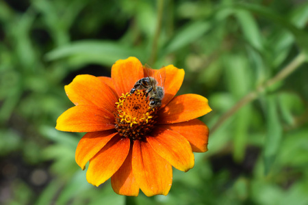 Bee on zinnia flower 版權商用圖片