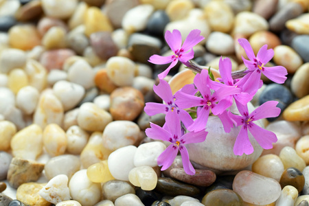 Phlox subulata flower in a small vase from an empty snail shell