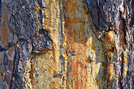 Resin on a pine trunk