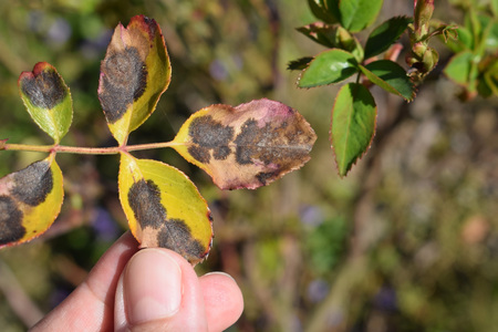 Old rose leaf after winter with fungal disease Black spot of rose caused by Diplocarpon rosae