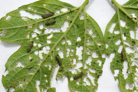 Group of Pyrrhalta viburni larvae damage viburnum leaves