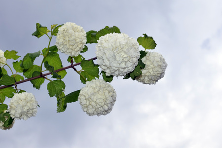 Blooming branch of Viburnum opulus with sky background