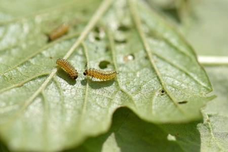 Pyrrhalta viburni larvae damage Viburnum leaf
