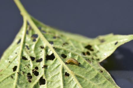 Pyrrhalta viburni larva damages Viburnum leaf