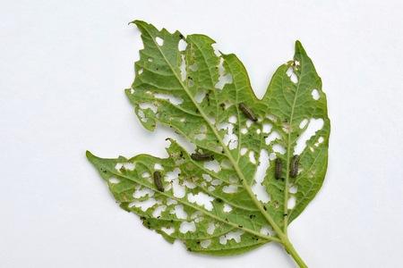 Group of Pyrrhalta viburni larvae damage Viburnum leaf Фото со стока
