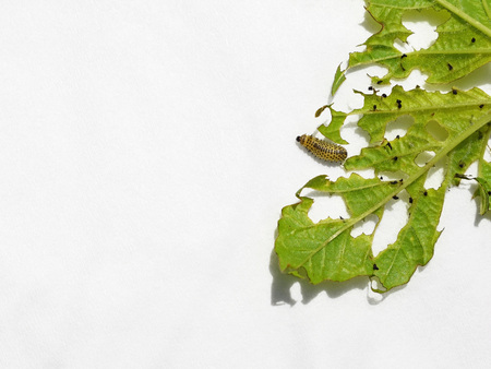 Pyrrhalta viburni pest - larva and damaged Viburnum opulus leaf on white background, with copy space for text