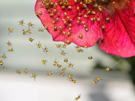 Newborn orb weaver spiders (family Araneidae) on petunia flower Banque d'images