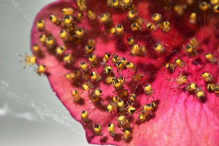 Newborn orb weaver spiders (family Araneidae) on petunia flower