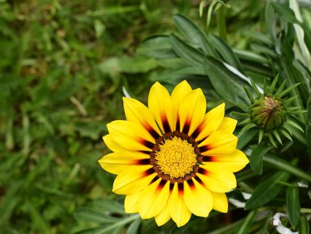 Beautiful gazania flower (Gazania rigens) of bright yellow color