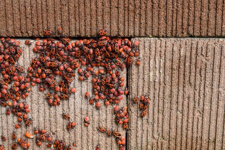 Colony of firebugs (Pyrrhocoris apterus) on a wall - mostly larvae of fifth, final larval instar and adults Фото со стока
