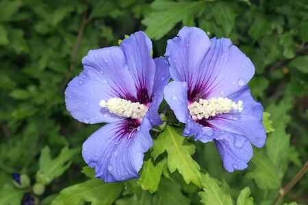 Beautiful hibiscus syriacus Blue bird with rain drops