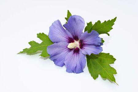 Beautiful flower of hibiscus syriacus on white Stock fotó
