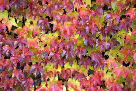 Colorful leaves of Parthenocissus tricuspidata (family Vitaceae) on a wall in autumn time