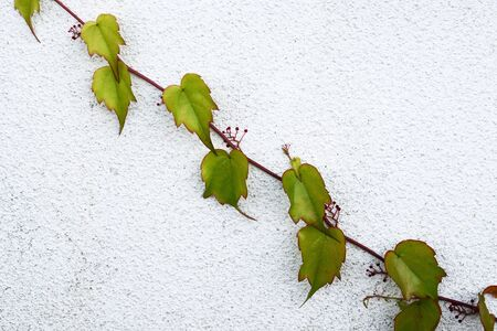 Parthenocissus tricuspidata (family Vitaceae) on a wall in autumn time