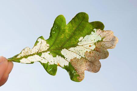 Damaged oak leaf with small sawfly larva pest (genus Caliroa, family Tenthredinidae)