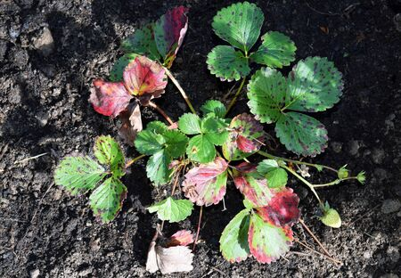 Strawberry leaf scorch - common fungal disease caused by Diplocarpon earliana