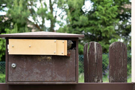 The young bird of black redstart (Phoenicurus ochruros) is going to fly out from the mailbox, in which it nested (spring 2020). Hole in the mailbox was reduced to protect the young birds