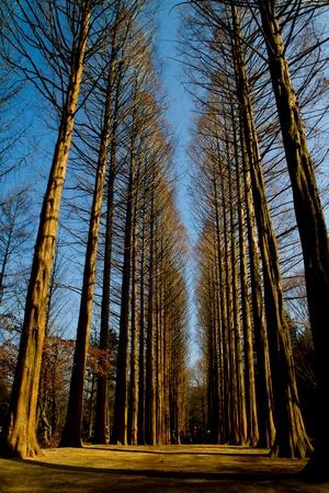 Pines trees in Nami Island Korea