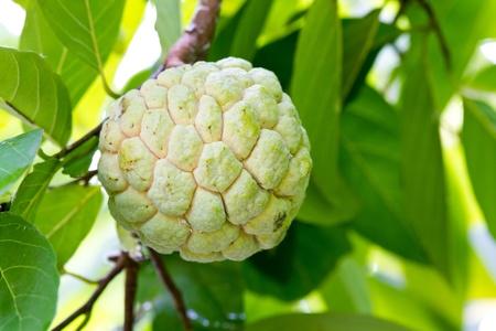 Custard apple   photo