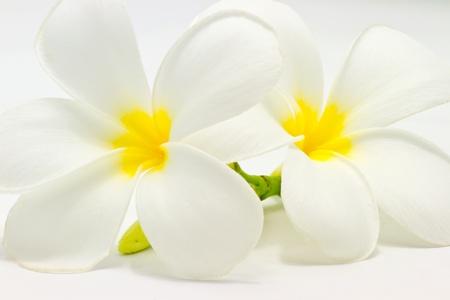 flores exoticas: Plumeria flores primer plano sobre fondo blanco
