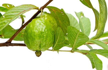 guava tree on white background