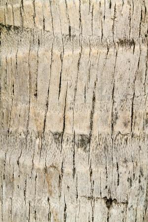bark palm tree: coconut tree texture Stock Photo