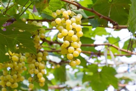 green grape in vineyard