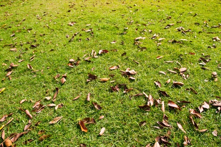 green lawn with dead leafs photo