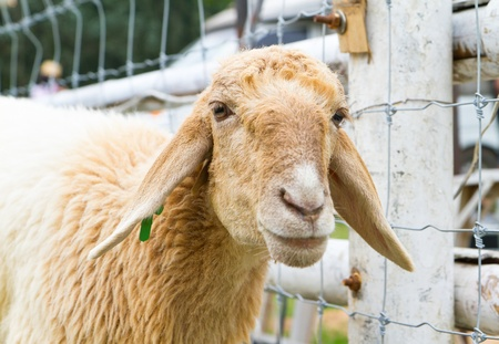 flock of sheep: sheep standing at fence Stock Photo