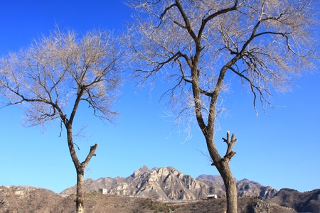 dead trees: dead trees and blue sky