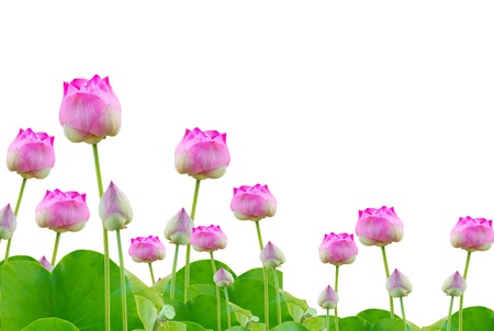 lotus blossom: many pink lotus on white background Stock Photo